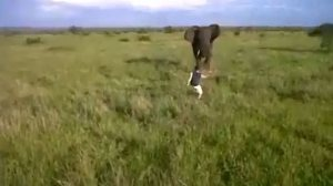 drunk-man-charges-wild-elephant