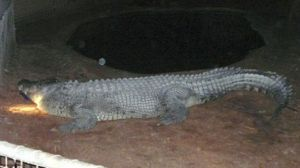 st_crocodile_ap