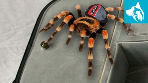 exotic-emotional-support-animal-tarantula