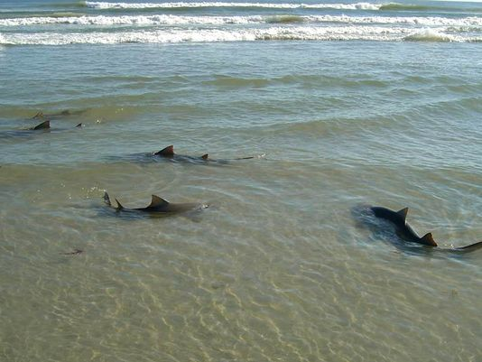 NSB-Sharks